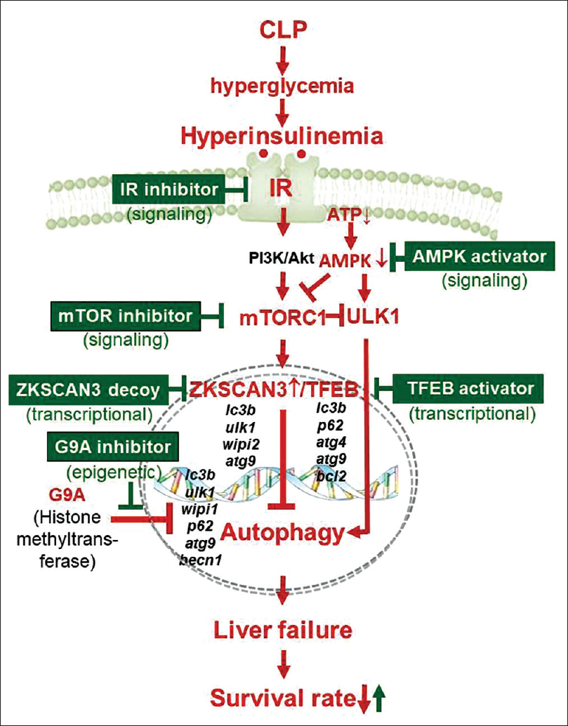 Figure 1: Therapeutic strategies targeting autophagy de-suppression for septic liver