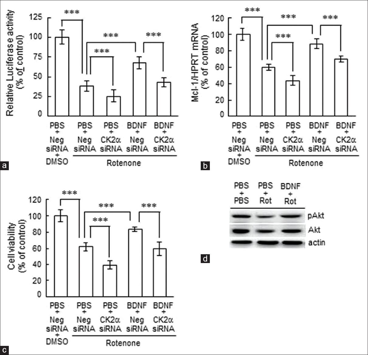 Figure 4: Blockade of CK2&#945; suppressed the protective effects of brain-derived neurotrophic factor on serum response element-mediated reporter expression, <i>Mcl-1</i> mRNA expression, and cell viability. PC12 cells (2 &#215; 10<sup>5</sup>/cm<sup>2</sup>) were transfected with 16 pmole of CK2&#945; siRNA for 48 h, followed by 10 ng/mL of brain-derived neurotrophic factor treatment for 6 h. The cells then received 500 nM of rotenone treatment for 24 h. The cells were harvested for (a) a luciferase activity assay by using the Dual-Glo Luciferase Assay System, (b) <i>Mcl-1</i> mRNA by using real-time quantitative polymerase chain reaction, (c) cell viability determination by using an 3-(4,5-dimethythiazol-2-yl)-2,5-diphenyl tetrazolium bromide assay (<i>n</i> &#61; 9 in each group from three independent batches of cultures). (d) The protein profile of Akt phosphorylation at Ser473 by the Western blot analysis. Data are expressed as mean &#177; standard deviation. Statistical significance was evaluated using a one-way ANOVA followed by the Newman&#8211;Kuel method. &#42;&#42;&#42;<i>P</i> &#60; 0.001