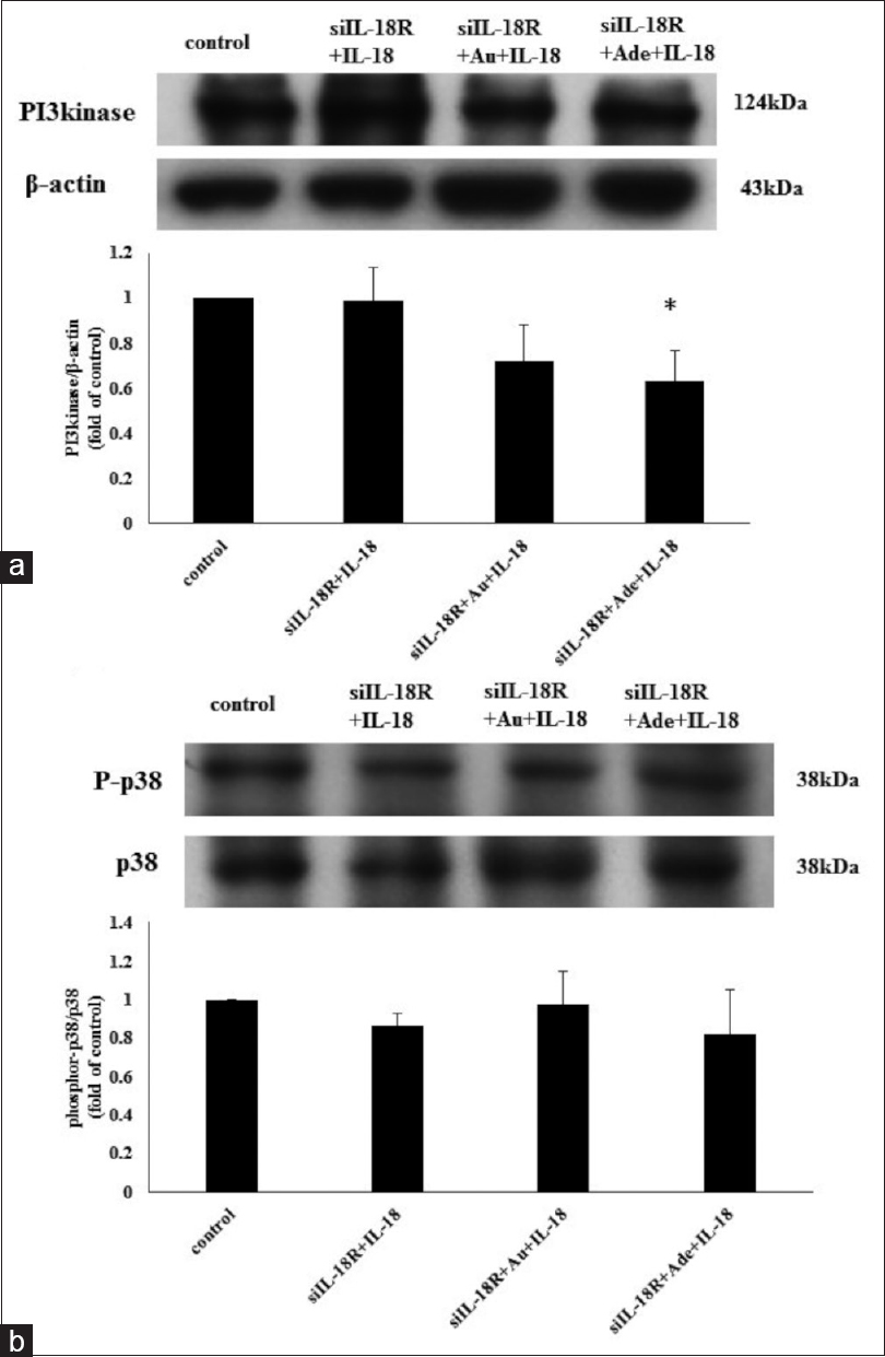 Figure 6: PI3 kinase expression and p38 MAPK phosphorylation after interleukin 18 receptor small interfering RNA (siIL-18R) treatment. (a) siIL-18R with adenine (Ade) cotreatment significantly decreased PI3 kinase expression. (b) Pretreated siIL-18R and/or gold nanoparticles (Au) and Ade did not decrease the ratio of phosphor-p38 MAPK to p38. (<i>n</i> = 4) *<i>P</i> < 0.05, compared with siIL-18R+interleukin-18