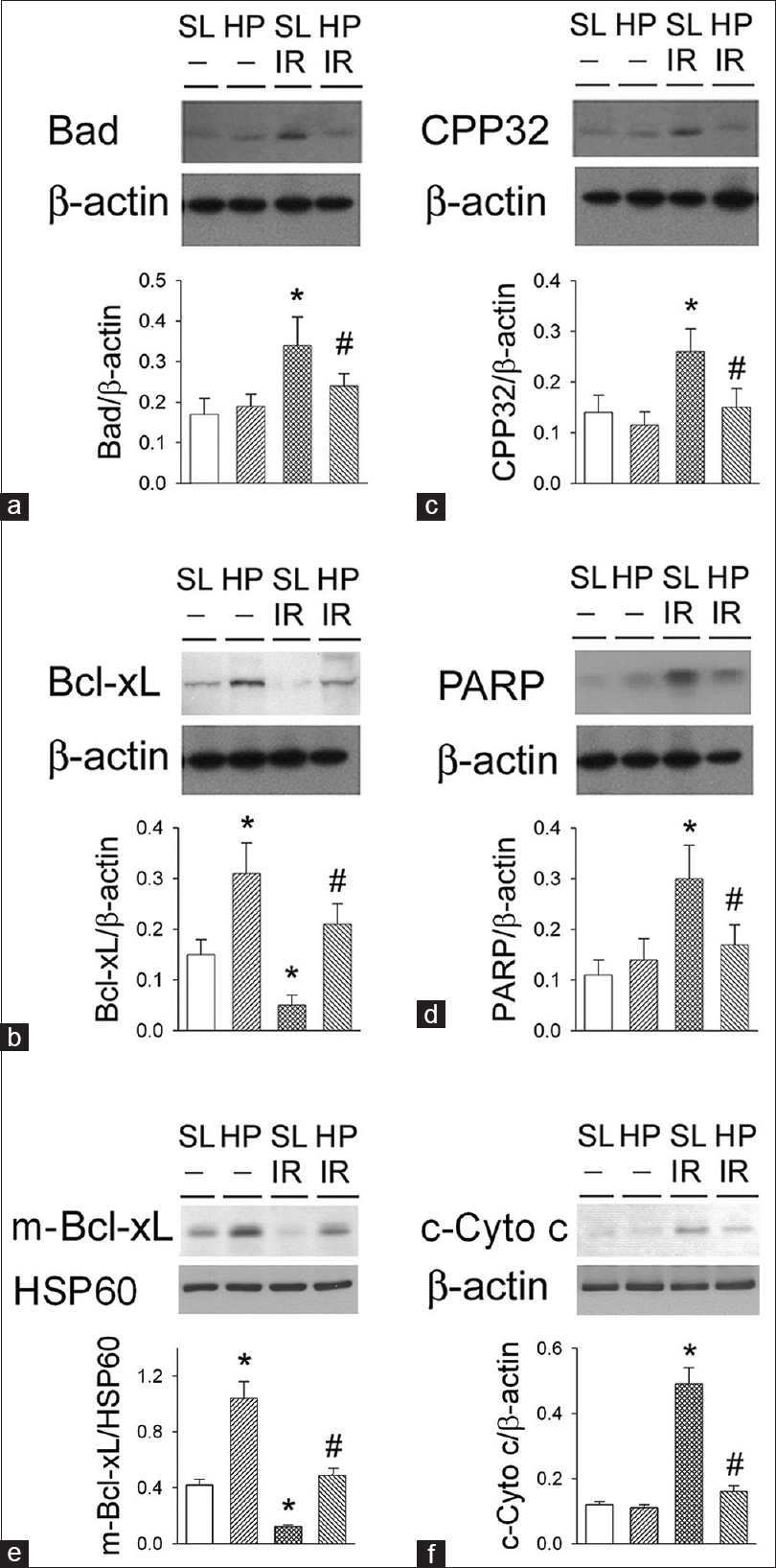 Figure 5: Effect of hypoxic preconditioning on ischemia/reperfusion-induced apoptosis-related proteins: Bad (a), Bcl-xL (b), CPP32 (c), and poly-(ADP-ribose)-polymerase (d) expression in the rat livers. The expression of mitochondrial Bcl-xL (m-Bcl-xL) and mitochondria control protein HSP60 (e). Cytosolic cytochrome C (c-Cyto c) expression (f). HP, hypoxic preconditioning; SL, control; I/R, ischemia/ reperfusion. *<i>P</i> < 0.05 when compared to sea level control. #<i>P</i> < 0.05 HPIR versus SLIR group